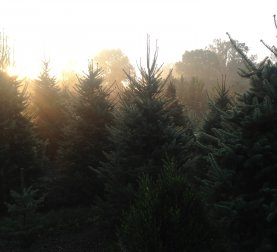 A field of Christmas Trees